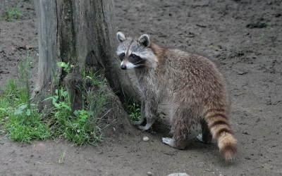 Lutte contre la rage du raton laveur: opération de vaccination des animaux sauvages en Montérégie et dans les parcs de la région de Montréal