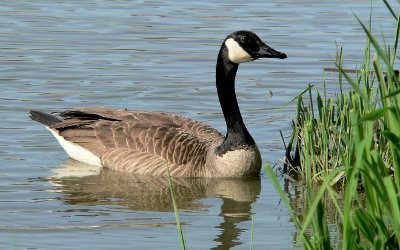 Dans le cadre du concours de l'emblème aviaire de Contrecœur: on vous présente la bernache du Canada!