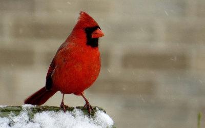 Le Cardinal rouge: l'emblème aviaire choisi par les citoyens de Contrecœur