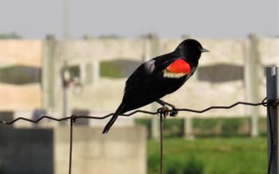 Dans le cadre du concours de l'emblème aviaire de Contrecœur: on vous présente le carouge à épaulettes!